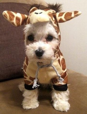 como hacer ropa para perros pequeños disfraz