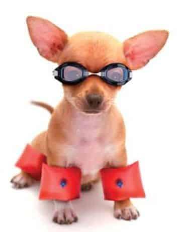 accesorios para perros chihuahua en vacaciones