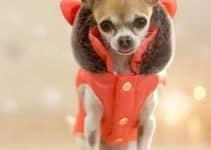 Preciosos y extrovertidos accesorios para perros chihuahua