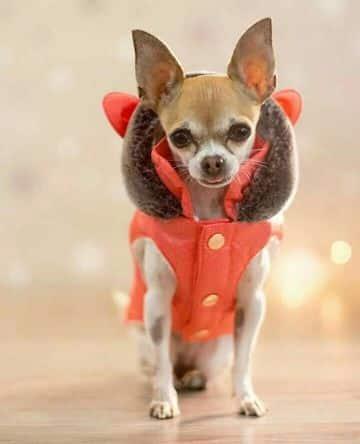 accesorios para perros chihuahua para el frio